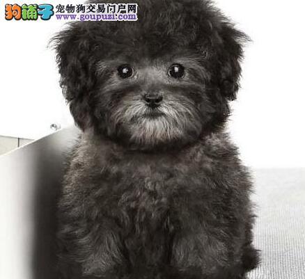 国外引进纯种泰迪犬直销价格出售中 南宁附近可送货