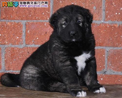 家养多只南京高加索犬转让中可办理血统证书