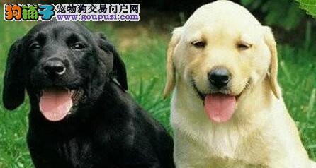 石家庄专业繁殖基地出售纯种拉布拉多犬 身体健康
