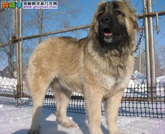 西安正规狗场出售血统纯正的高加索犬 请大家放心选购