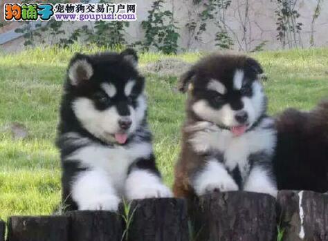 十字脸帅气英俊的青岛阿拉斯加犬出售 超低价超高品质