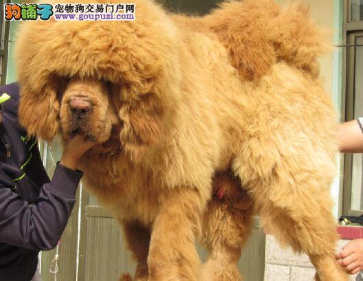 青岛正规獒园出售多只大狮子头藏獒幼崽 多种血系供选