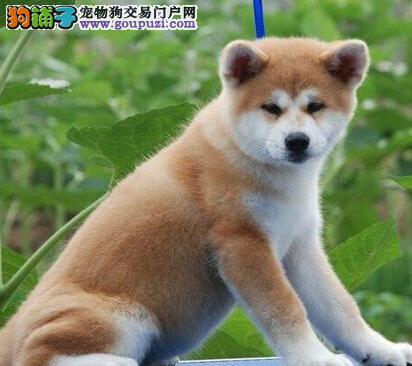 低价转让武汉自家繁殖的秋田幼犬 强壮 自信 独立性强