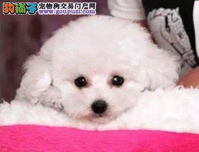 茶杯玩具超小体的济南泰迪犬找新家 终身保障纯种健康