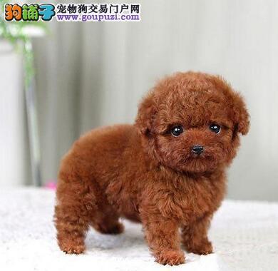 上海哪里有家养的泰迪出售 浦东哪里有家养的泰迪出售