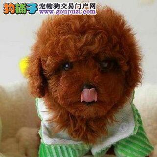 金山自家繁殖高品质各种颜色贵宾犬宝宝 欲购从速