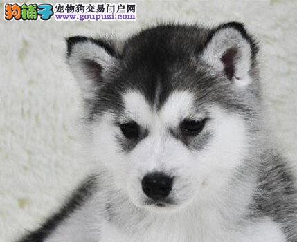 海口正规犬舍出售双蓝眼双血统哈士奇幼犬 签订协议