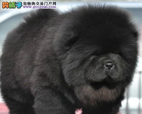纯种健康漂亮的杭州松狮宝宝出售 可上门挑选看狗