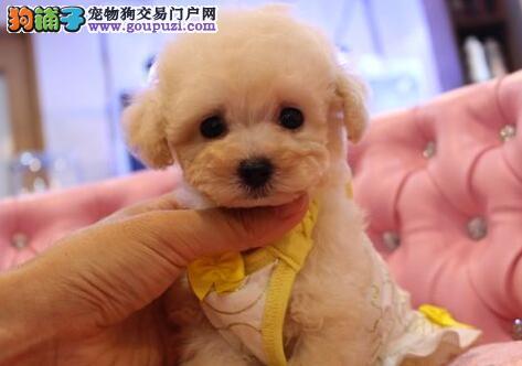 西安专业犬舍热卖精品泰迪犬颜色多只可上挑选