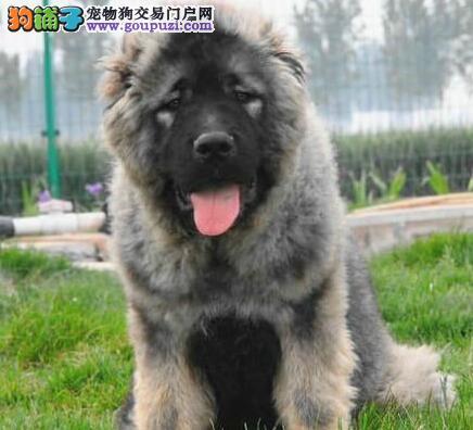 正宗熊版俄系深圳高加索犬特价出售 均有防疫证明