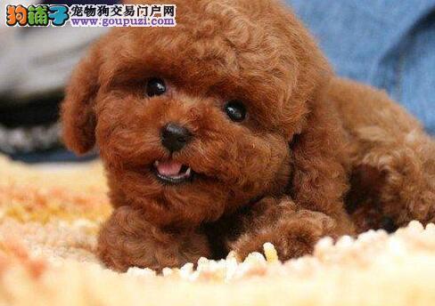 优雅伶俐聪明听话的南京泰迪犬找新家 请大家放心选购