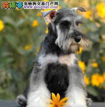 椒盐深灰色的南昌雪纳瑞幼犬 签署终身质保协议合同