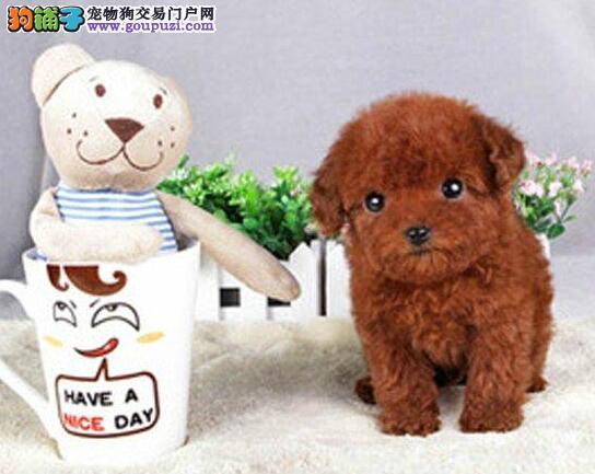 南宁犬舍出售疫苗驱虫齐全的贵宾犬 多只供您选择