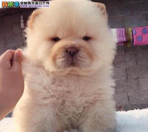 憨厚敦实骨骼强壮的南京松狮犬热卖中 可视频看种犬