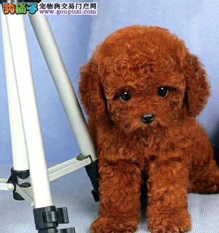 乖巧可爱的南京贵宾犬找新宠主 大眼睛纯血统品相佳