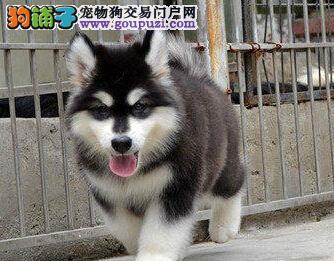 专业犬舍特价转让纯种双十字苏州阿拉斯加雪橇犬