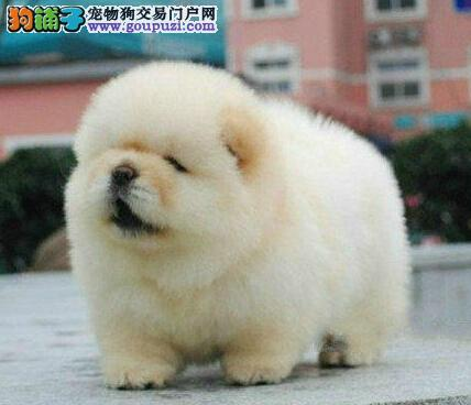 出售广州松狮犬 爱犬人士优先选择 可以随时电话咨询