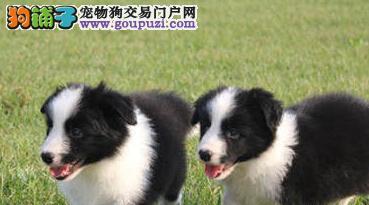 基地促销高品质质边境牧羊犬郑州地区购买可优惠