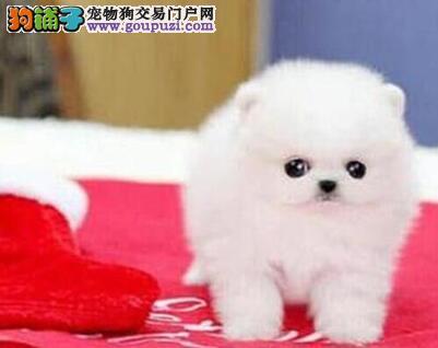 出售纯种小型济南博美幼犬 健康活泼好魅力 放心选购