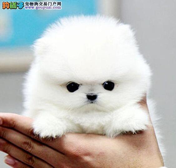 武汉最大哈多利博美繁殖基地 直销纯种健康幼犬 便宜哦