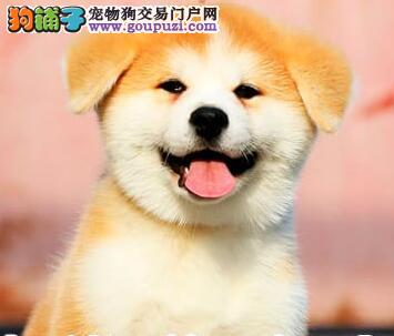 广州犬舍出售冠军级血统的秋田犬 均有国际证书芯片