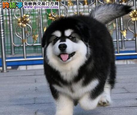 十字脸和桃脸品相的兰州阿拉斯加犬低价出售 预购从速