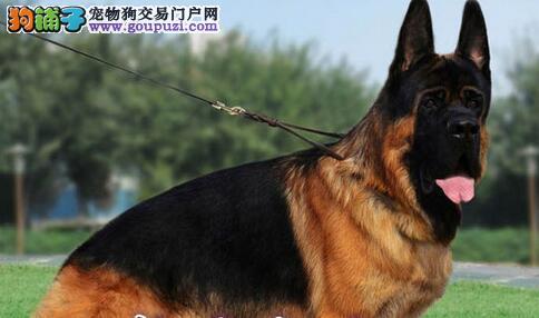 锤系黑背的杭州德国牧羊犬出售 狗贩子勿扰 速来选购