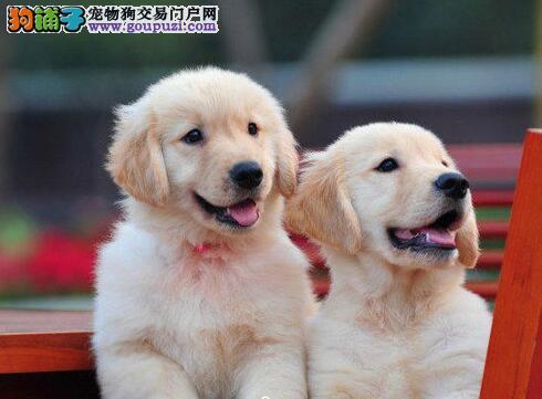 金黄色品相超级棒的渝中金毛犬找新家 喜欢可上门选购