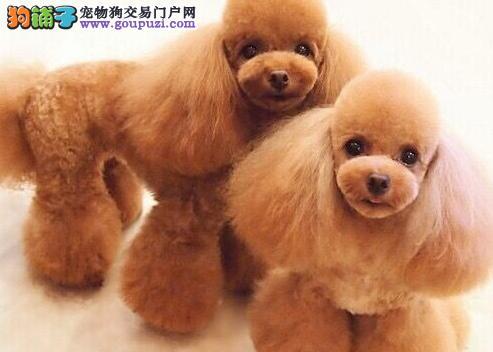 出售小体型泰迪犬各个颜色都有可视频挑选