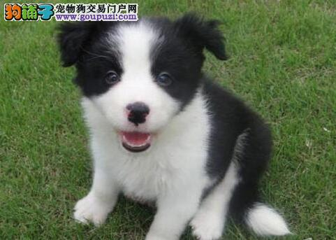 出售温顺聪明易训练的南京边境牧羊犬 随时电话咨询