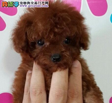 石家庄养殖场直销完美品相的泰迪犬 多种颜色签协议