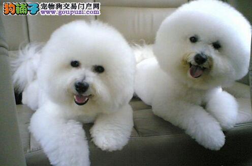 直销精品纯种卷毛成都比熊犬 超小体可爱漂亮欢迎购买