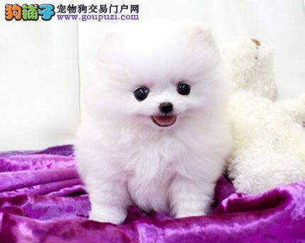 济南博美犬多少钱 济南到哪能买 白色博美幼犬
