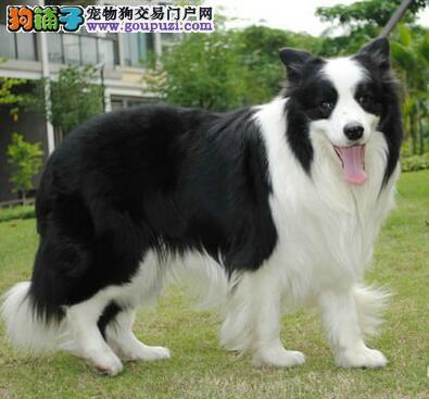 热销顶级优秀合肥边境牧羊犬 可当面看狗保证直系血统