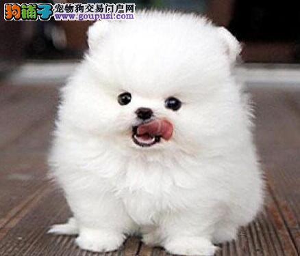 火爆出售顶级优秀哈多利版博美犬 欢迎来武汉实地考察