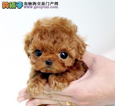 出售极品纯种韩系泰迪犬 欢迎来合肥犬舍上门挑选购买