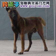 热销马犬幼犬,CKU认证品质,购犬可签协议