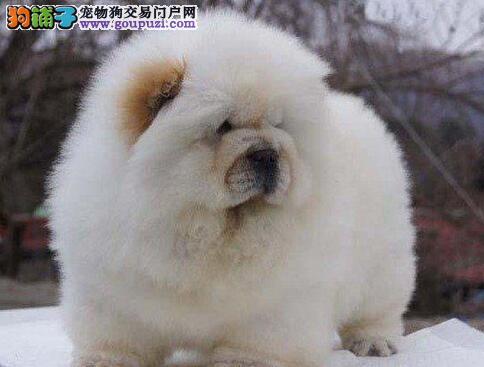 松狮优质品质的幼犬出售