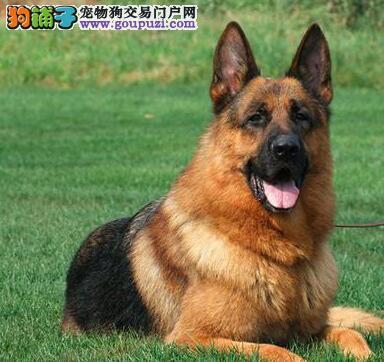 黑背大骨架的锤系德国牧羊犬低价出售 昆明市内可送货