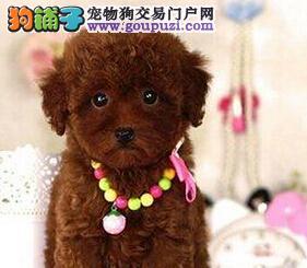 纯正韩国血统贵宾犬特价出售 金山地区有专业犬舍