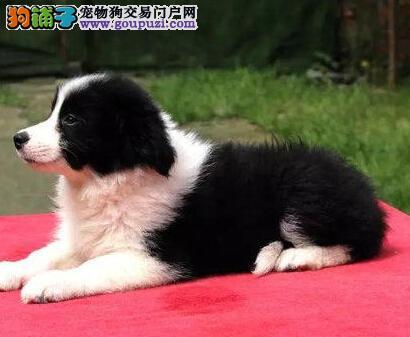 超高品质的南京边境牧羊犬低价出售 三个月内免费退换