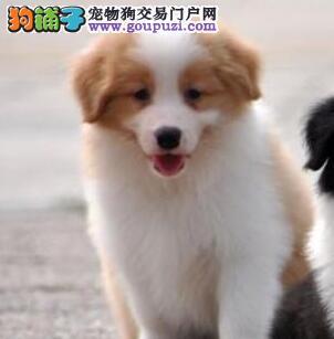 优秀纯种七白贵阳边境牧羊犬一年内任何疾病免费治疗