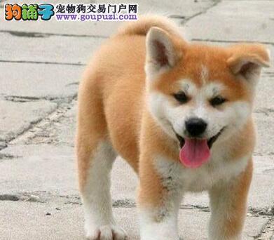 出售毛色纯正靓丽活泼的温州秋田犬 可当面选购