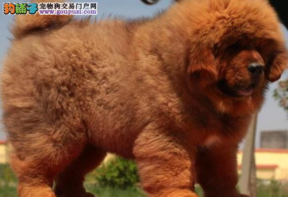 出售毛色亮丽大头版的兰州藏獒幼崽 大骨架毛量好