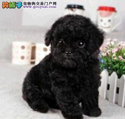 转让三个月的广州泰迪犬 多种颜色多种血系供您选购哦