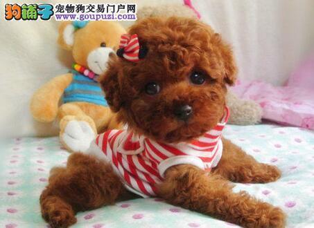 顶级优秀品质西安贵宾犬犬舍直销 韩国进口血统
