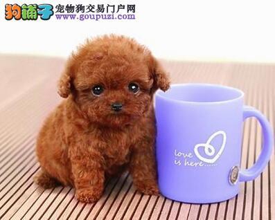 深红色棕色的海口泰迪犬找爸爸妈妈 爱狗人士优先选购