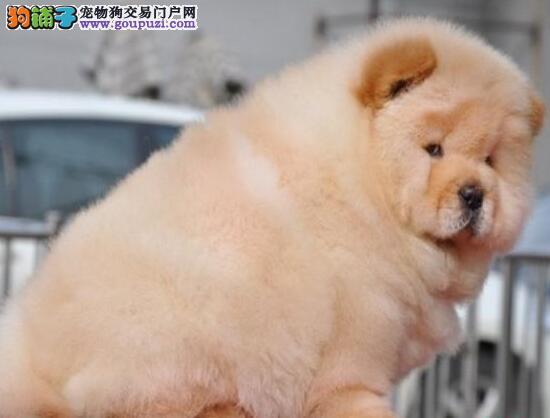 精品大嘴松狮犬特价转让中 福州周边可免运费支持空运
