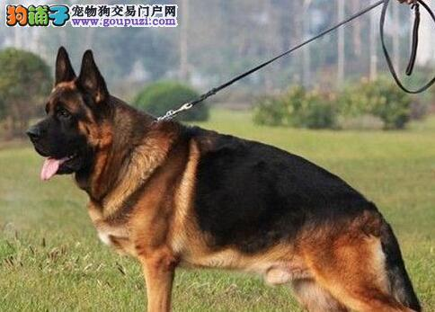 出售黑背弓腰锤系血统的石家庄德国牧羊犬 速来选购吧