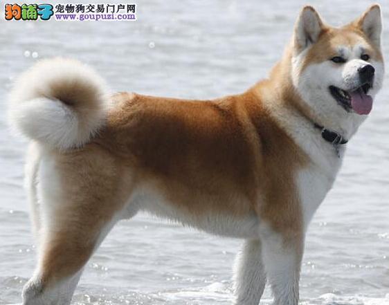 青岛哪里有卖秋田犬的 什么地方有好的健康的秋田